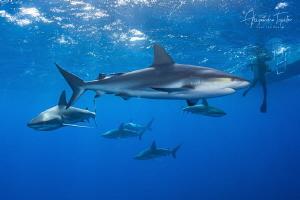 Caribean Reef Sharks, Jardines de la Reina Cuba by Alejandro Topete