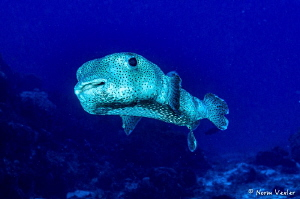 Porcupinefish in Cozumel by Norm Vexler