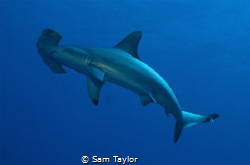 Baby Hammerhead, natural light by Sam Taylor