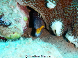 Yellow mouth moray at Lighthouse Dahab by Nadine Bielser