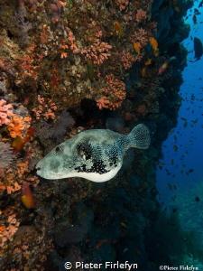 Pregnant pufferfish by Pieter Firlefyn