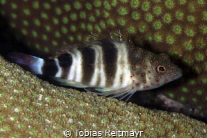 Redspotted Hawkfish, Something Special, Bonaire by Tobias Reitmayr