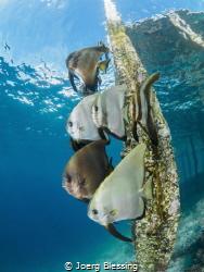 Batfish under Yenkoranu Homestay´s jetty on Kri Island by Joerg Blessing