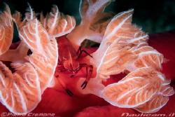 Emperor shrimp on spanish dancer's gills by Pietro Cremone