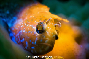 Speckled Klipfish Coloured snoot torches highlight the y... by Kate Jonker