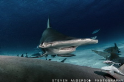 Bimini is the place find the Great Hammerheads during the... by Steven Anderson