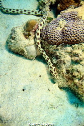 Occelated eel (Snake eel) Pointe aux Piments Mauritius C... by Jean-Yves Bignoux