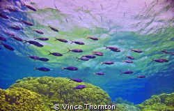 Simplicity, a school of fish on the passage through to th... by Vince Thornton