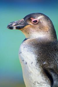 Juvenile African penguin (Spheniscus demersus), Simon's t... by Filip Staes