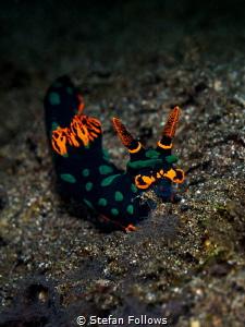 Let it Glow ... !  Nudibranch - Nembrotha kubaryana  ... by Stefan Follows