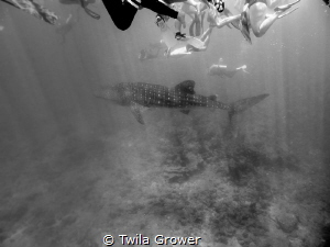 Snorkellers! I mean Whaleshark! by Twila Grower