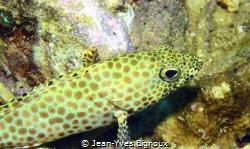 Honeycomb Grouper Juvenile.Jean-Yves BIGNOUX Mauritius by Jean-Yves Bignoux