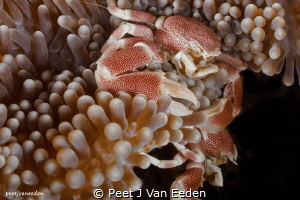 The Battle  Two porcelain crabs competing for the best ... by Peet J Van Eeden