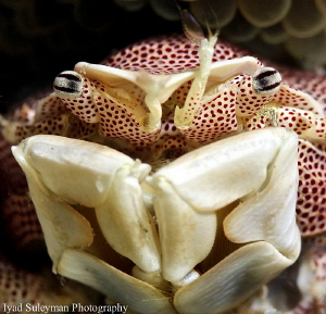 Porcelain Crab by Iyad Suleyman