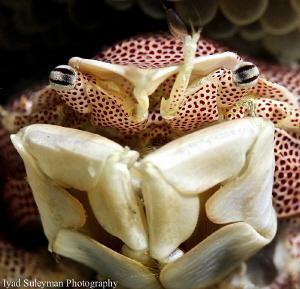Porcelain Crab by Iyad Suleyman