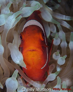 Spinecheek Anemonefish -- Florida Islands, Solomon Islands by Billy Watson