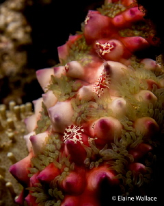 Juvenile flatworms on the leg of a starfish. by Elaine Wallace