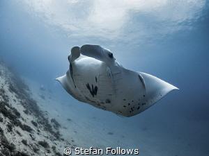 Suspension  Manta Ray - Manta alfredi  Manta Point, B... by Stefan Follows