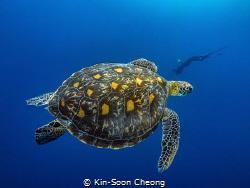 Green sea turtle (Chelonia mydas) by Kin-Soon Cheong