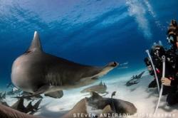 Great Hammerhead Shark season in Bimini did not disappoin... by Steven Anderson