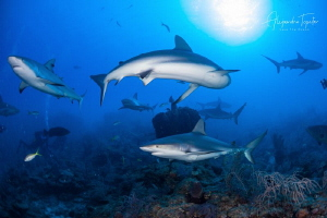 Reef Sharks in a Row, Gardens of the Queen, Cuba by Alejandro Topete