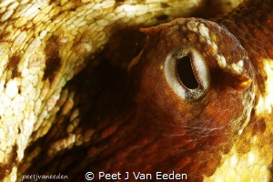 Through the eye of an octopus by Peet J Van Eeden