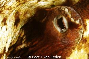 Through the eye of an octopus by Peet J Van Eeden