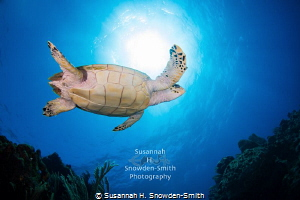 """Beneath"" - A hawksbill sea turtle soars beneath the sun ... by Susannah H. Snowden-Smith"