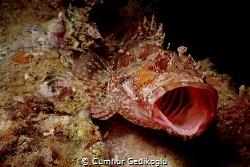 Scorpaena maderensis Yawning for territory by Cumhur Gedikoglu