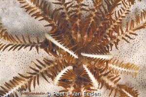 Feather-star in False Bay, Cape Peninsula, South Africa by Peet J Van Eeden