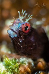 Blenny close Up, Gardens of the Queen Cuba by Alejandro Topete