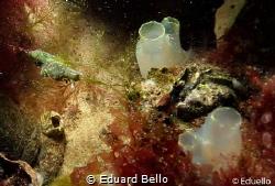 Little green seaweed nudibranch by Eduard Bello