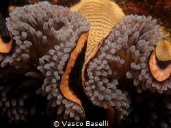 Anemone close-up by Vasco Baselli