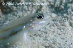 Bridled goby. Turks and Caicos. D100 in L&M housing. 105 mm. by Patrick Reardon