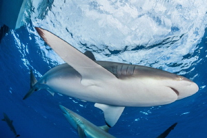 Silky Shark in surface, Gardens of the Queen, Cuba by Alejandro Topete