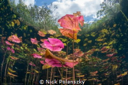 The colourful Lily Pads of Cenote Carwash, Mexico by Nick Polanszky