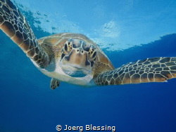Curious green turtle by Joerg Blessing