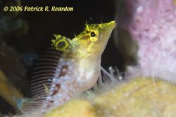 Diamond Blenny. D100 and 105 lens. by Patrick Reardon