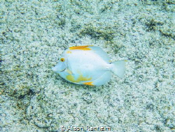 Yellow Tang with loss of pigmentation by Alison Ranheim