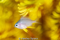 Mellow Yellow by Henley Spiers