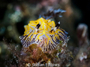 Well, That Was Awkward ... !  Nudibranch - Reticulidia ... by Stefan Follows