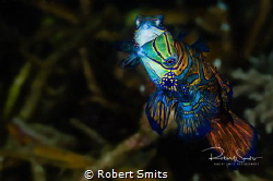 Did you know that Mandarin fish mate just after sunset an... by Robert Smits