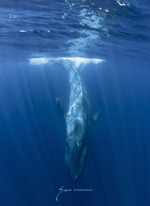 The largest mammal ever to live on earth. The Blue Whale by Suzan Meldonian