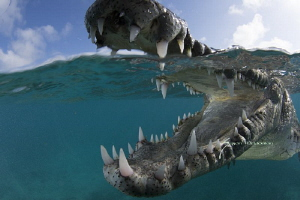 American crocodile by Suzan Meldonian