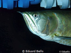Silver Arowana, great fish by Eduard Bello