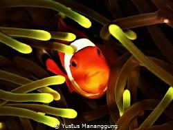 Anemone fish. by Yustus Mananggung