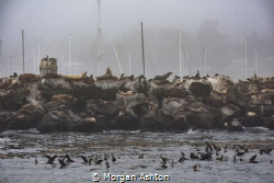 That's a lot of Sea Lions - Coast Guard Pier, Monterey by Morgan Ashton