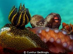 Octopus vulgaris & Felimare picta by Cumhur Gedikoglu
