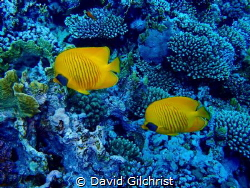 Pair of Masked Butterflyfish(Chaetodon semilarvartus)