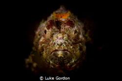 Scorpaenopsis macrochir portrait by Luke Gordon